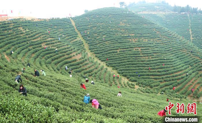 采茶工穿梭在茶林间采摘春茶盛鹏摄
