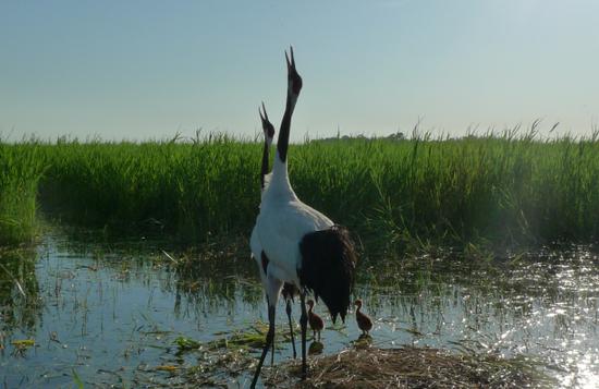 齐齐哈尔扎龙自然保护区丹顶鹤鸣