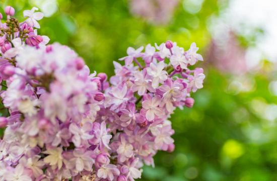 哈尔滨丁香花