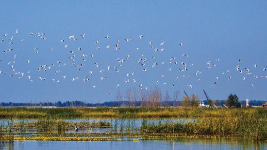 哈尔滨湿地群鸟翔集