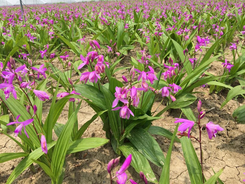 选择贵州农腾博创生物科技有限公司贵珍草种植白芨、黄精拥抱前景未来