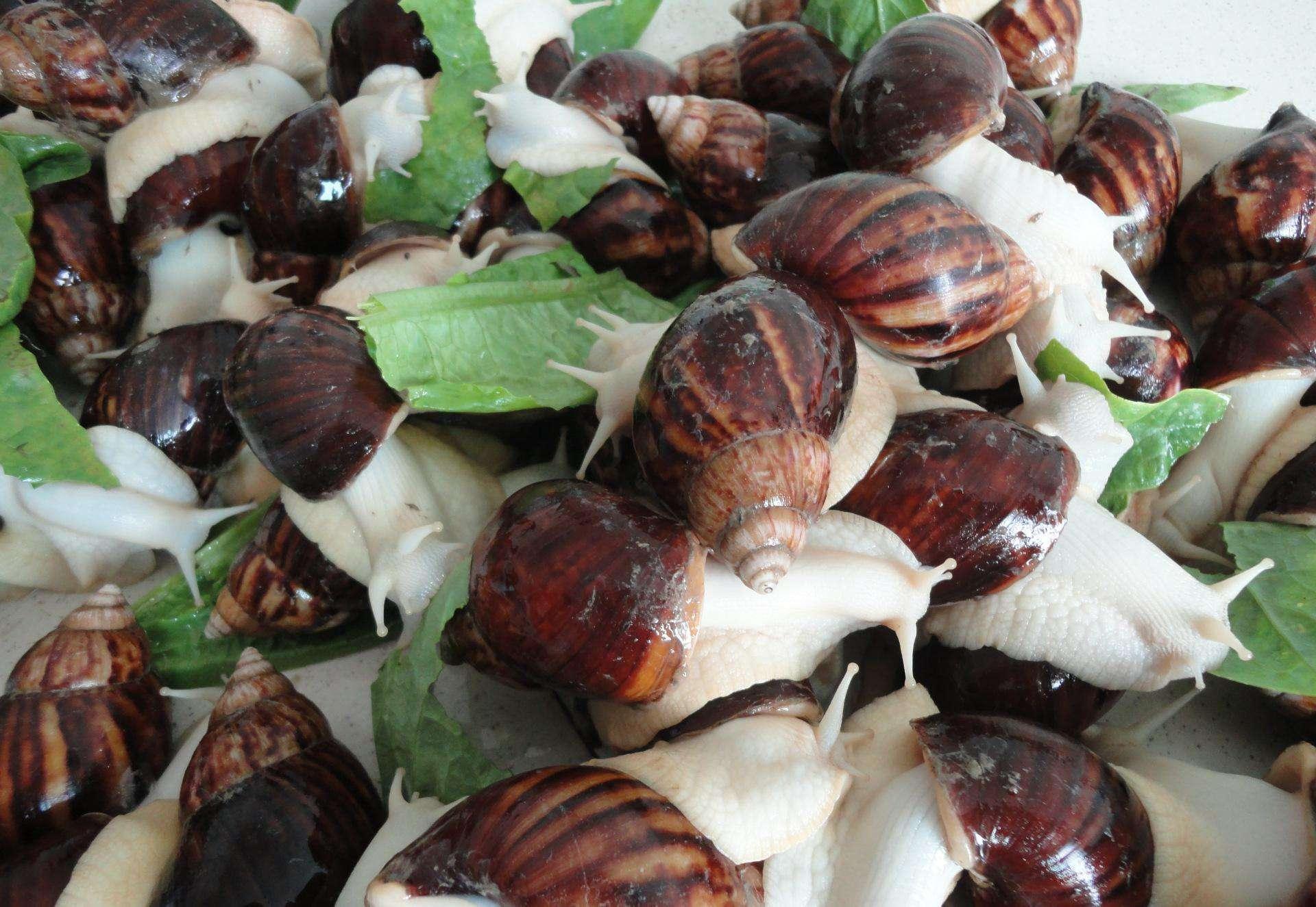 想要养好四川涵德白玉蜗牛,这些你不得不注意!