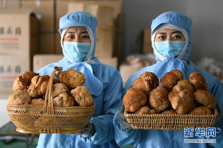"""(经济)(4)黑龙江""""蘑菇村"""":""""小猴头""""助农增收"""