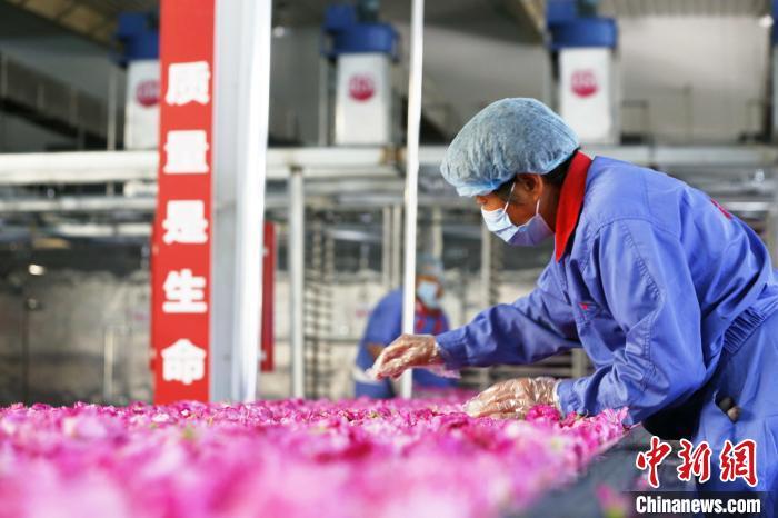 在玫瑰加工车间内,工人们分拣运送带上的玫瑰花。 沙见龙摄