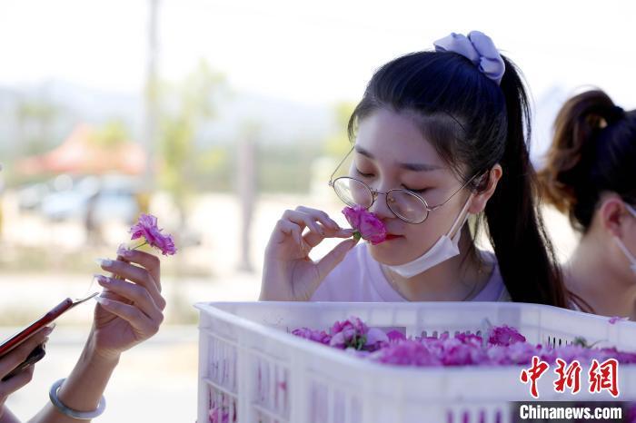 """每年5月,是""""中国玫瑰之乡""""济南平阴县的最美时节,各地游客欣赏前来欣赏玫瑰花姿,了解玫瑰文化。 沙见龙摄"""