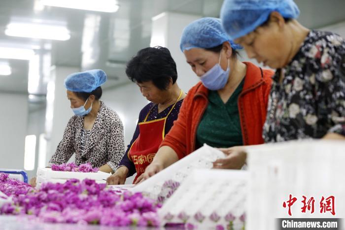 """在玫瑰加工车间内,工人们将玫瑰花插入固定容器,让每朵花以最好的""""姿态""""被烘干。 沙见龙摄"""