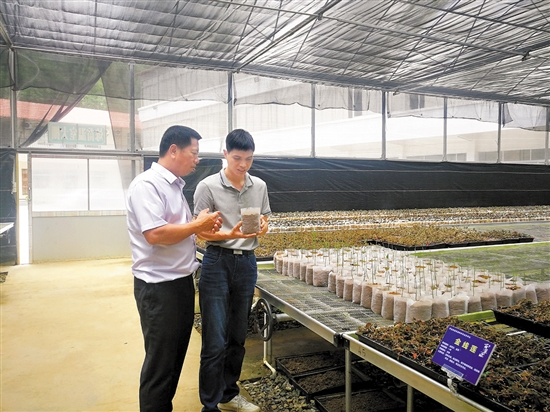 南药组培带动大石村村民就业。(摄影:杨再睿)