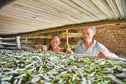 杨加荣养蚕已有20年 四川达州西瓜种植能人