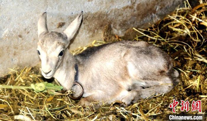 甘肃张掖警方救助放生国家二级保护动物