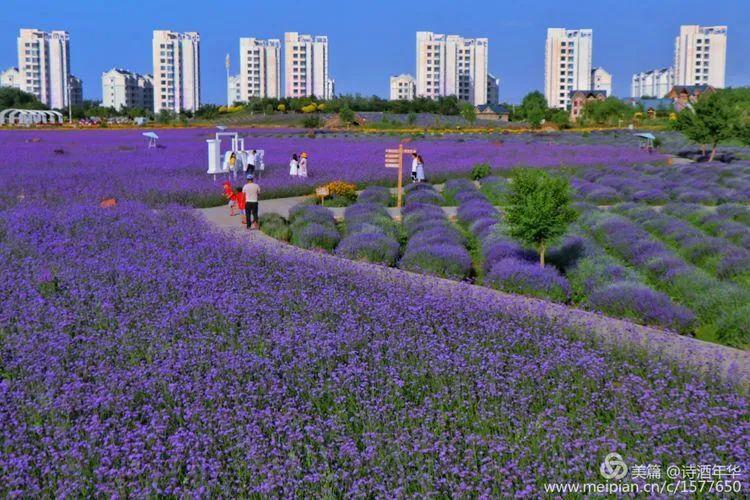 视觉金昌:紫金花儿艳