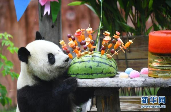 """吉林:大熊猫""""初心""""与""""牧云""""迎来4岁生日"""