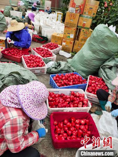 mg4355vip平台入口:海南瓜菜销售难度有所缓解。还有一些瓜菜需要紧急发货。 海南冬季瓜菜品种