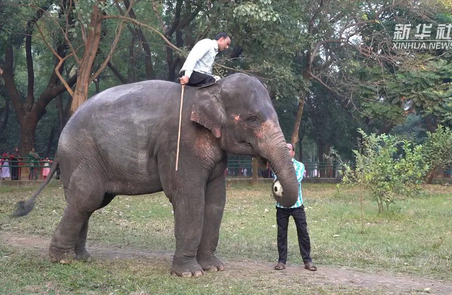 孟加拉国动物园里的大象足球表演