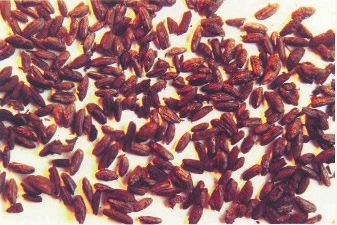 湖南澧县八十垱遗址出土的古稻谷和古稻米,距今约8300-9000年