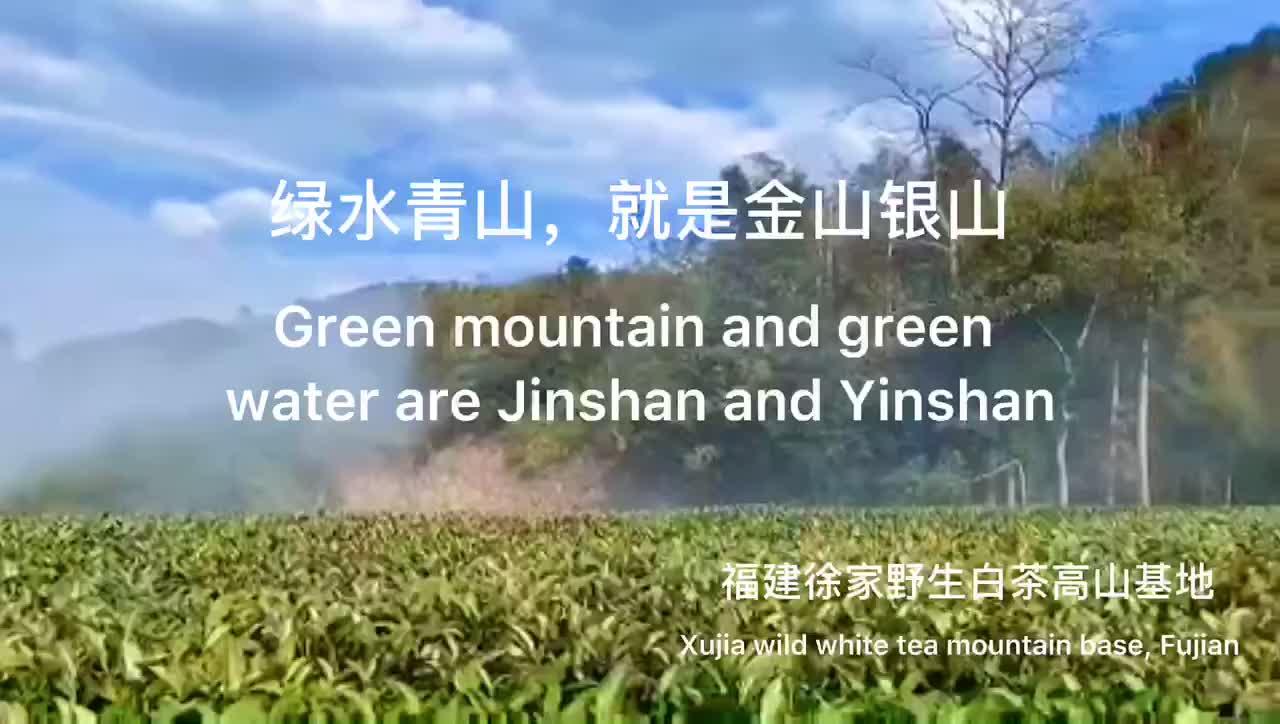 绿水青山,就是金山银山,徐家野生白茶高山基地