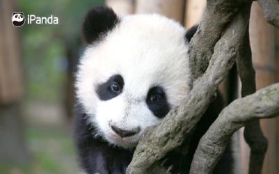 郑州大熊猫锦意_世界上最可爱的熊猫,背后也有粉圈大战_凤凰网娱乐_凤凰网