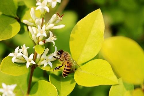 西澳大利亚大学研究发现:蜜蜂的蜂毒素可用于治疗乳腺癌