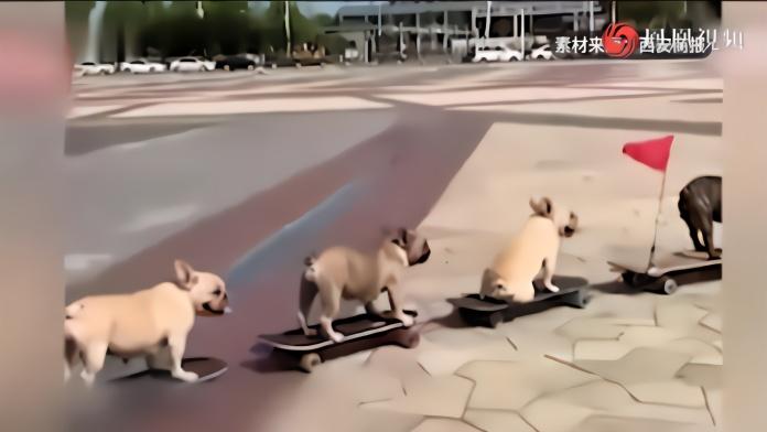 斗牛犬滑滑板吸粉百万:下楼梯、拐弯和推板 样样精通