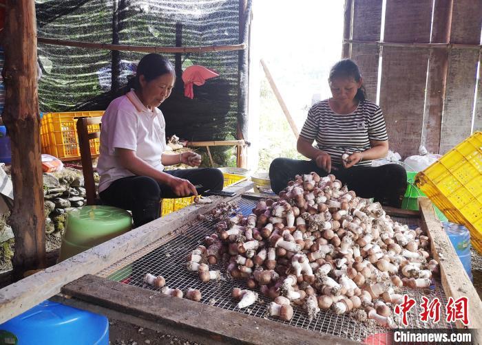 图为广西田林县贫困户将刚采摘下来的姬松茸进行削菇作业。 杨玲 摄