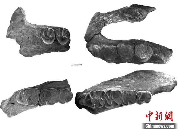 戈壁圆柱齿鼠化石材料。科研团队 供图