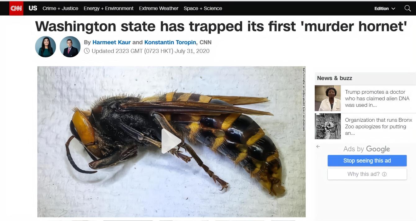 "CNN:华盛顿州抓到第一只""杀手大黄蜂"""