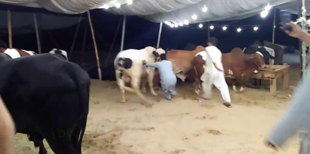 【优化教程】_印度一男子涉嫌强奸母牛被逮捕,类似案件今年已发生多起