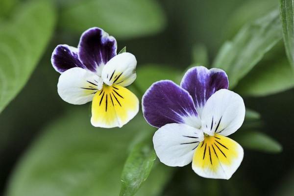 三色堇(Viola tricolor),也叫静心花,花朵上的图案由紫色和黄色组合而成。 资料图