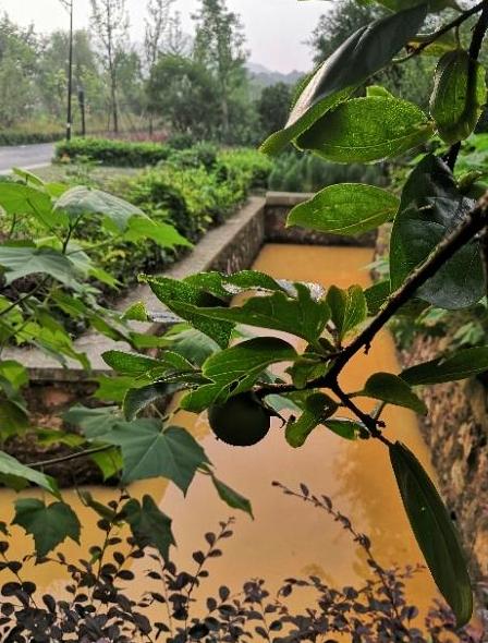 ▲5月,湖埠村溪水开始变质。受访人供图
