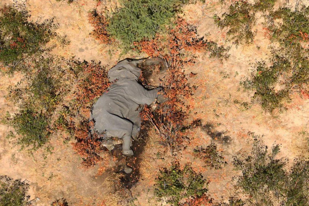 【东环铁路】_300多头大象在非洲离奇死亡,原因不明