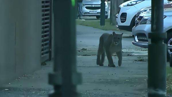 智利宵禁闯入不速之客,美洲狮街头踱步