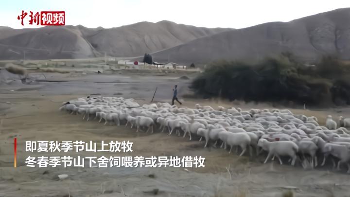 """祁连山区牧民徒步百公里赶10万牛羊""""借牧"""""""