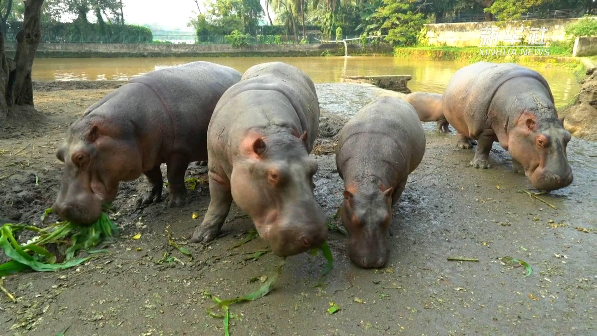 孟加拉国国家动物园的河马开饭了