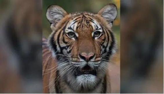 老虎也中招新冠、猫咪高度易感?家有宠物,该怎么办?