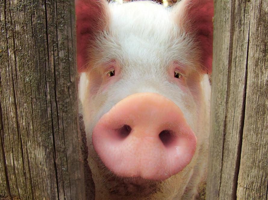 猪价涨势放缓:养殖户对后市信心下降    经销商暂无备货意向