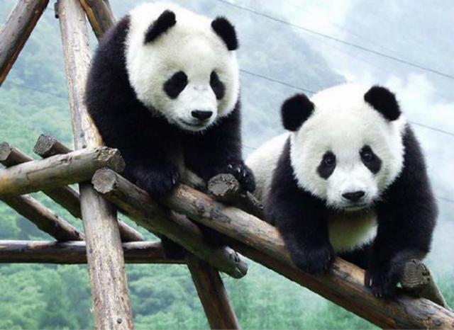 """【刷百度快照】_新冠疫情致竹子供应链崩溃,加拿大动物园大熊猫恐""""断粮"""""""