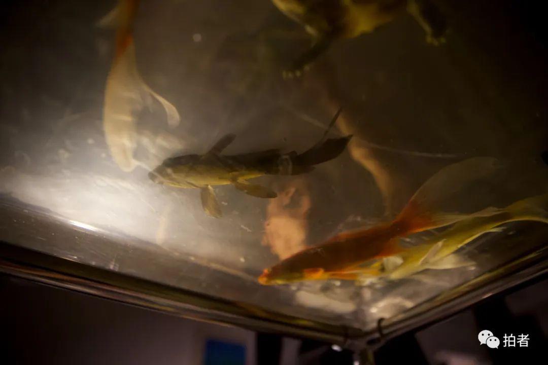 ▲6月28日,大永睡前給工作室裡的魚喂食。