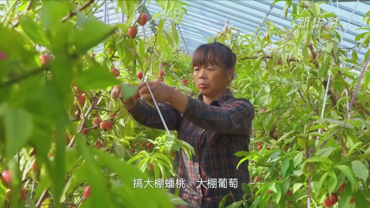 河北广宗:蟠桃飘香富农家