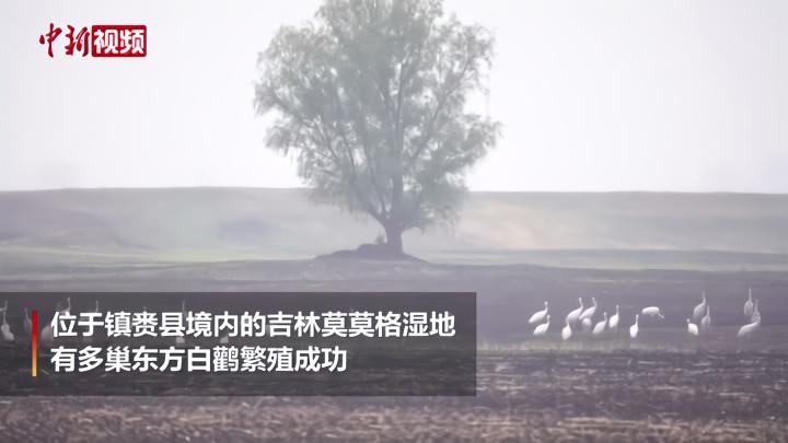 吉林莫莫格:多巢东方白鹳繁殖成功