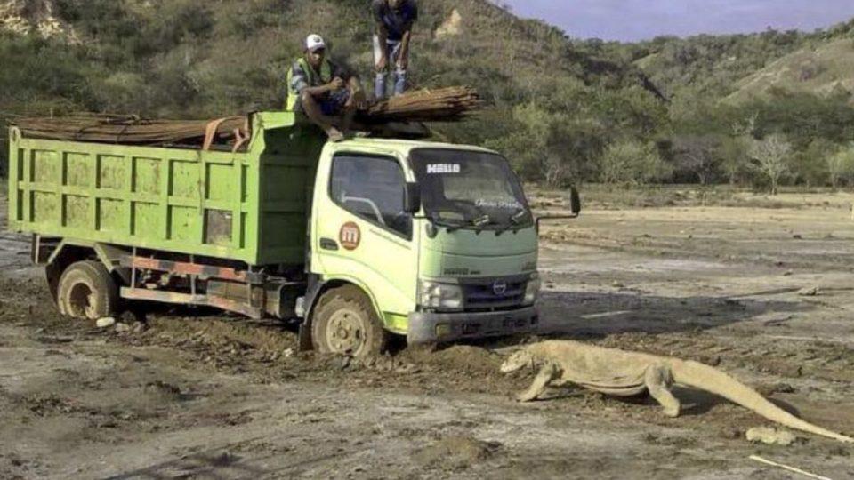 """【资讯网】_科莫多巨蜥拦卡车照引热议 印尼暂停建设""""侏罗纪公园""""度假村"""