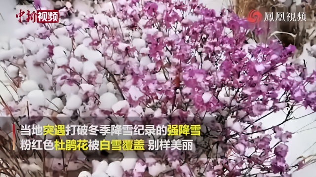 内蒙古扎兰屯:风雪中迎春杜鹃别样红