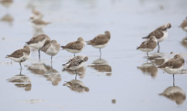广东湛江湿地发现34只极度濒危鸟类勺嘴鹬