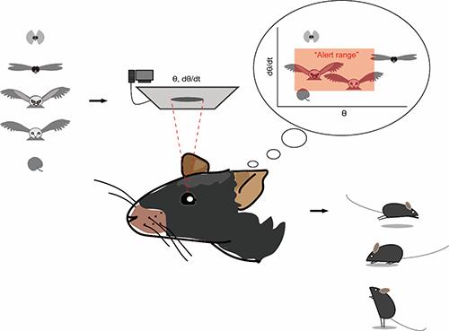 小鼠通过视觉刺激是否处于警戒范围来判断危险程度,并采用适当的行为反应。中科院深圳先进院供图