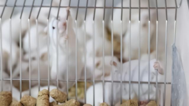 大爷学校养小白鼠40年:像孩子对待