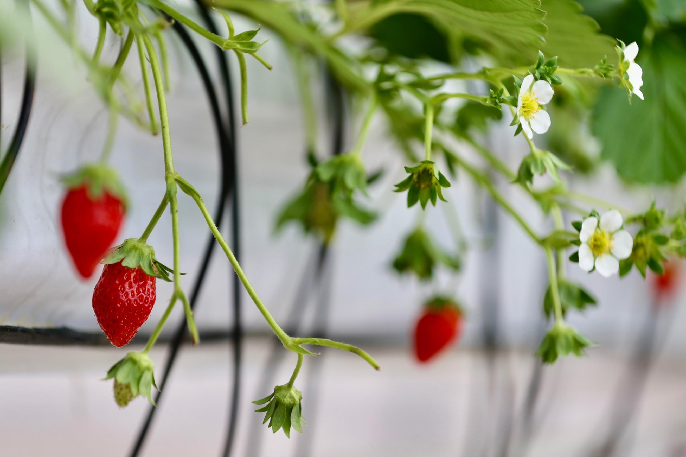 首届草莓AI种植比赛人工智能队领先顶尖农人队