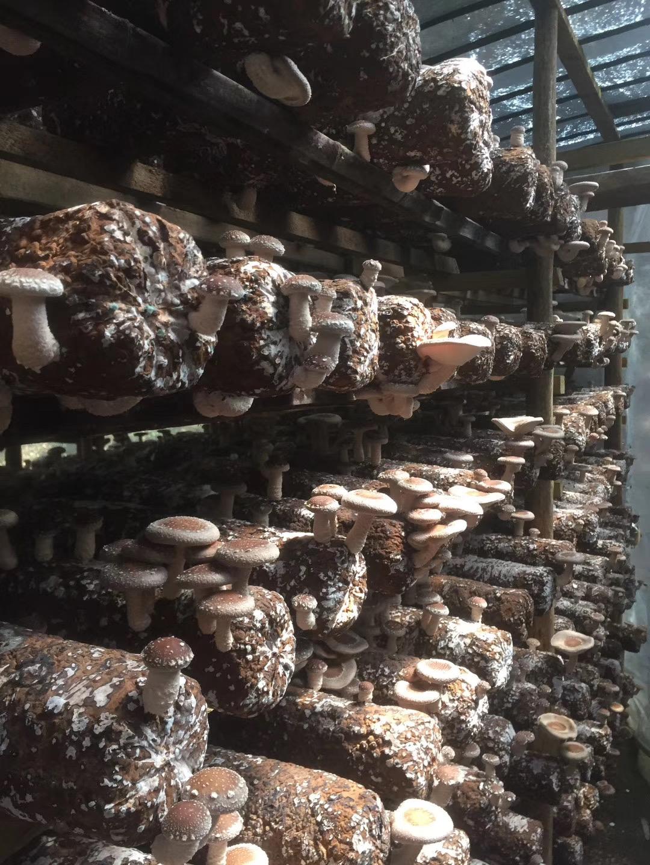 庆元香菇种植