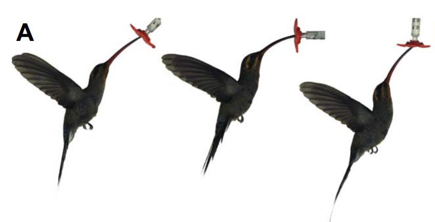 蜂鸟通过调整姿态,轻松应对不同角度开放的花朵   参考文献[1]
