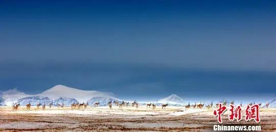 图为可可西里藏羚羊。(资料图)三江源国家公园管理局 供图