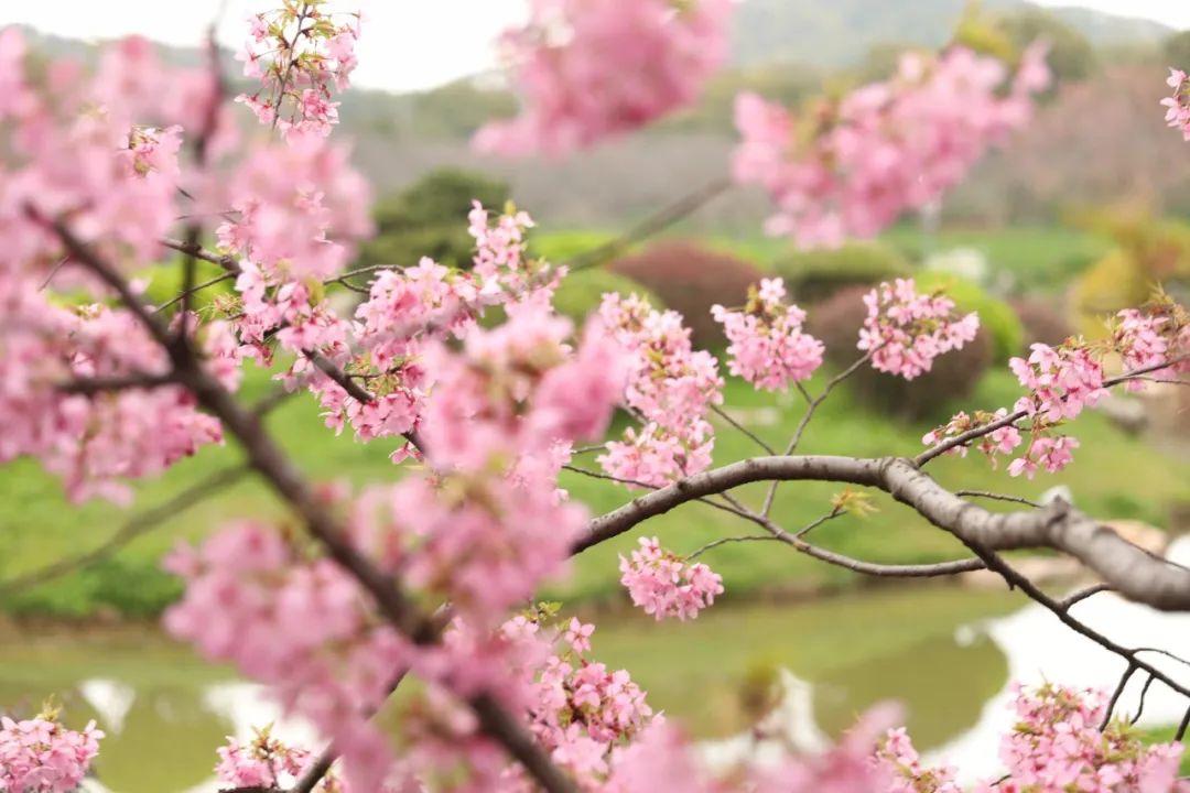 当武汉东湖樱花遇上红瓦白墙