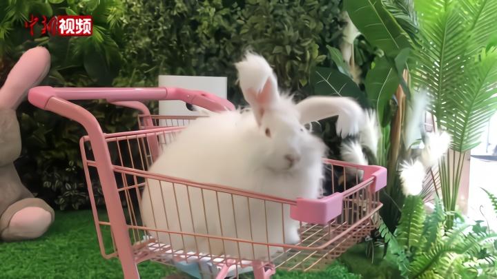 """你想撸兔子吗?软萌的安哥拉巨兔""""营业""""了"""
