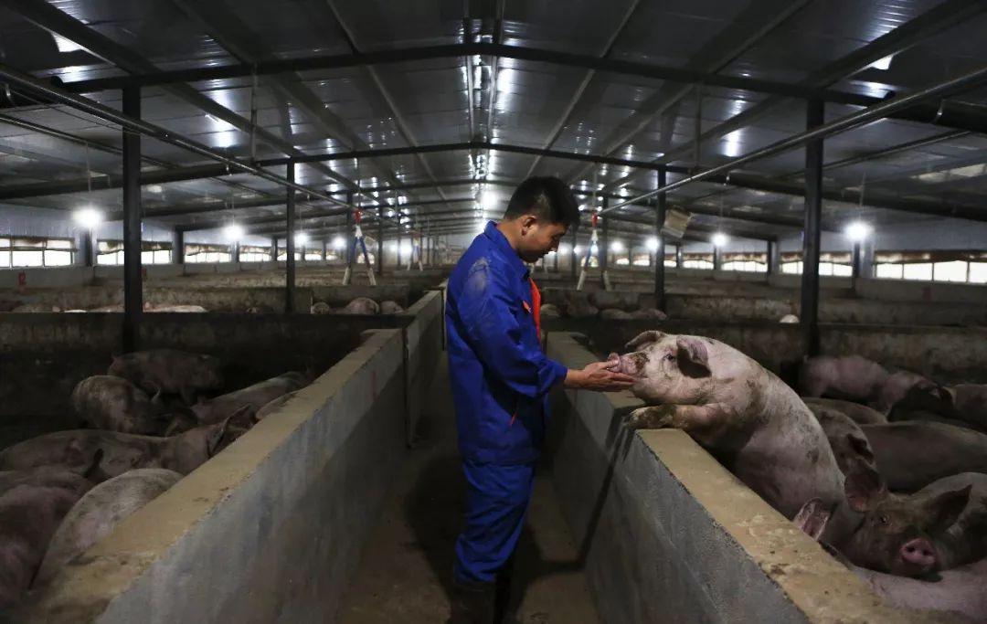 【亚洲天堂免费培训】_猪价高企,散户养猪为何仍在观望?